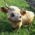 """Parabola de la vaca: Rumear pensamientos sobre """"otras vidas"""" ayuda a la de hoy?"""