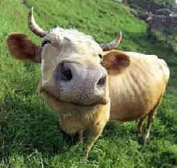 pensamientos sobre otras vidas, parabola de la vaca