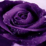 La conciencia de la rosa: La rosa azul del Gran Espiritu Creador