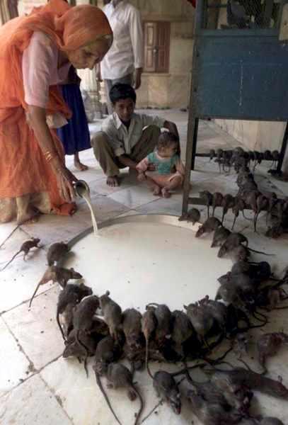 alimento de ratas