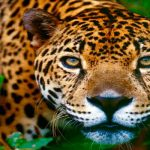 Luna Maya del Jaguar en el Calendario Maya