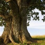 El roble es un arbol sagrado y protector