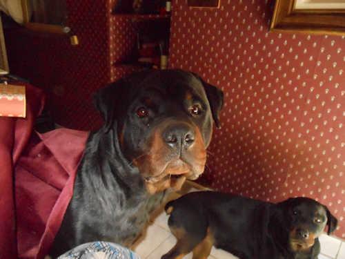 Mi rottweiler y yo, viaje espiritual de un perro